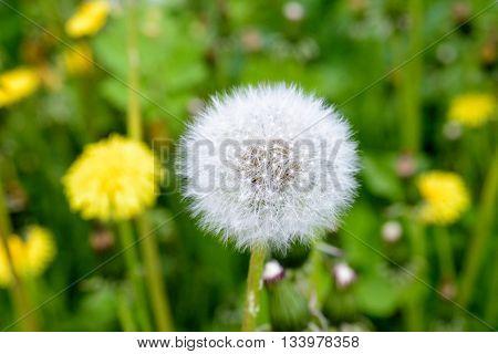 Dandelion Weed Seed Head