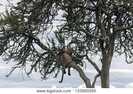 Fed jaguar resting on a tree in Tarangire National Park, Tanzania.