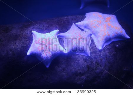 Starfish (Asteroidea) - echinoderms invertebrates oldest animals on earth