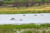 Hippopotamuses (Hippopotamus amphibius) taking a bath in a river National Park Botswana poster