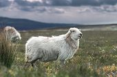Adult Sheep Among Fresh Graze Land Against Blurred Rainy Clouds poster