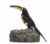 Profile of a Pale Mandibled Aracari perched on a rock, Pteroglossus Erythropygius, isolated on white poster