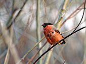 wet tailless the bullfinch dries on a branch of a tree. poster