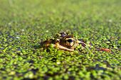 Northern Leopard Frog (Rana pipiens) near the Kishwaukee River in northern Illinois. poster