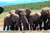 a small african elephant herd being in mourning by a water hole in a game reserve in south africa poster
