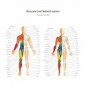 Male and female muscle and bony system charts with explanations. Anatomy guide of human physiology. Didactic board of anatomy. poster