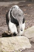 The Giant Anteater Myrmecophaga tridactyla is the largest species of anteater. It is found in Central and South America from Honduras to northern Argentina. It is a solitary animal found in many habitats including grasslands deciduous forests and rainfore poster
