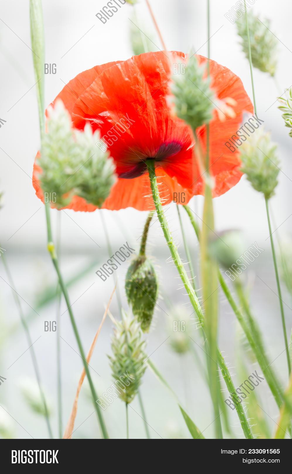 Flanders Poppy Flower Image Photo Free Trial Bigstock