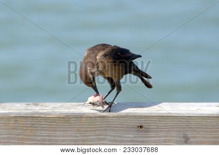 Brown Headed Cowbird Eating A Tiny Dead Fish On A Pier
