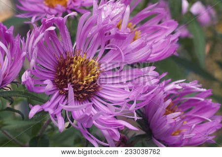 Close Up Image Of New England Aster Flowers.