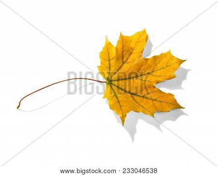 Yellow Autumn Leaf With Raindrops, Isolated On White Background