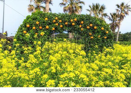 Canola Flower Field And Orange In Jeju Island