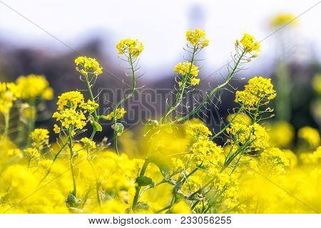 Canola Flower Field In Jeju Island Close Ups