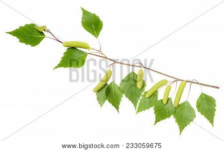 Birch Branch With Catkins Isolated On White.