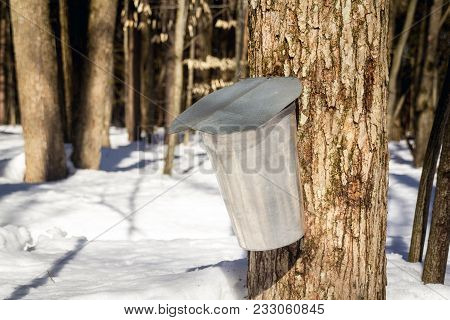 Metal Bucket For Collection Maple Sap For Maple Syrup At Springtime