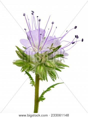 Lacy Phacelia, Blue Tansy Or Purple Tansy Isolated On White Background