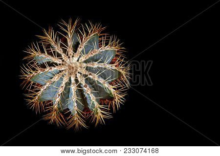 Cactus Star With Bright Long Spines. Cactus In Form Snowflakes, Blue-and-green Color, Top View, Blac