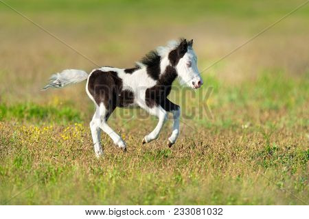 Cute Pony Foal Run Fast On Spring Pasture