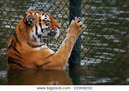 Siberian Tiger Looks Through A Fence