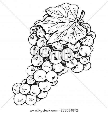 Hand Drawn Grapewine Vector Illustration On White Background