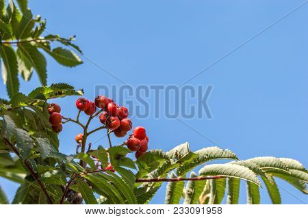 Rowan Tree With Red Berries. Close Up Of The Small Tree Also Called Mountain Ash, Sorbus Aucuparia.
