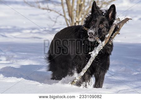 A young black long fur German Shepard dog running around in a sunny winter day pet happiness canine playful poster