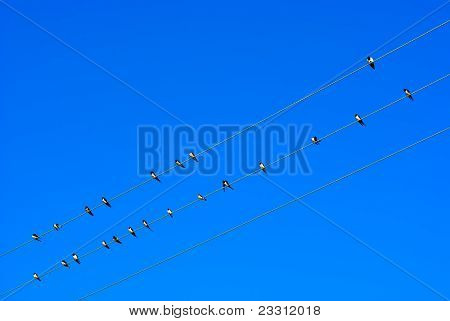 Swallow on electric wires in the sky poster