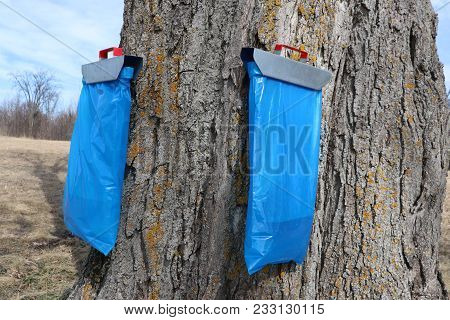 Two Bags Attached To A Sugar Maple To Collect Sap.  Later It Will Be Turned In To Maple Syrup