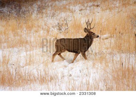 Buck Deer In Th Snow
