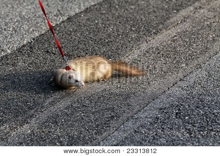 Ferret On The Hunt