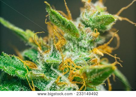 cannabis, with sugar trichomes cbd thc shot Macro buds of medicinal marijuana . Concepts of legalizing herbs weed,, buds grown cannabis in the house, Bud cannabis before harvest poster