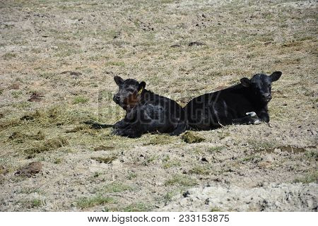 Two Black Angus Calves Sleeping Butt To Butt In Field