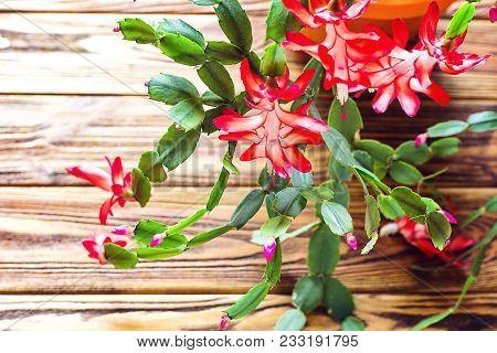 Christmas Cactus Thanksgiving Cactus Crab Holiday Cactus Schlumbergera Truncata Zygocactus Delicate