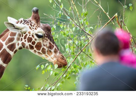 Giraffe (Giraffa camelopardalis) in a zoo with people watching it feed