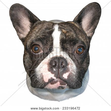 Beautiful French Bulldog Dog. Cute French Bulldog Isolated On White Background. Studio Shot Of An Ad