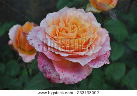 Pink And Orange Rose In The Garden. Beautiful Bright Pink Rose In The Winter Garden. Pink Rose With