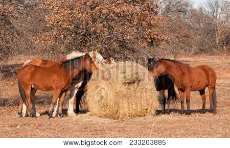 Herd of horses eating hay off of a round bale in pasture on a sunny winter day