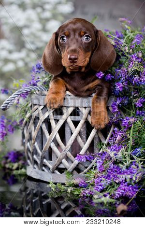 dachshund puppy  brown tan color