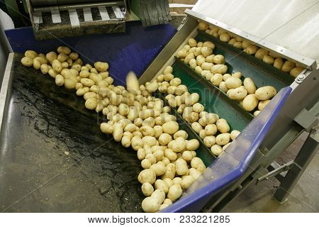 Fresh, Cleaned And Sorted Potatoes On A Conveyor Belt, Prepared For Packing. Automated Agriculture,