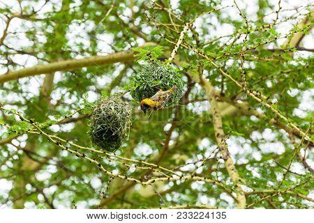 Masked Weaver Sitting On Top Of Nest.yellow Bird Nest