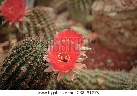 Closeup Of A Beautiful Pink Tender Cactus Flower And Green Thorny Spiky Plant.