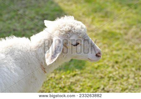 Lamb Or Unaware Sheep Or A Sheep On The Farm