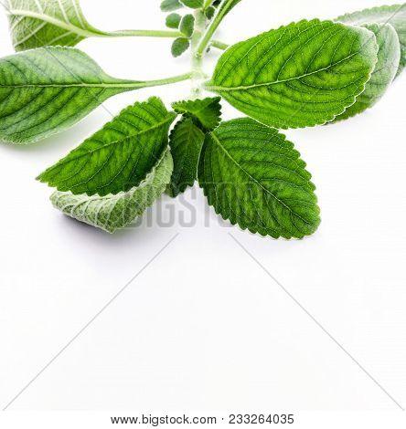 Boldo Leaf: Branch Of A Green Plant Called Boldo Da Terra