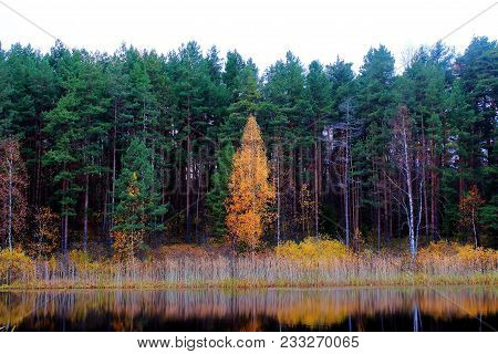 Yellow autumn trees. Autumn nature. Russian forest. The northern forest. Nature Reserve. The autumn yellow woods. Golden autumn. Lake in autumn forest. Autumn forest reflected in the lake in september. Autumn landscape. The lake in Russia
