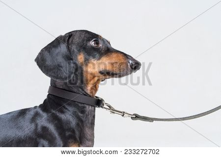 Portrait Of A Beautiful Dachshund, Black And Tan, With A Leather Dog Collar, Looking Up At His Maste