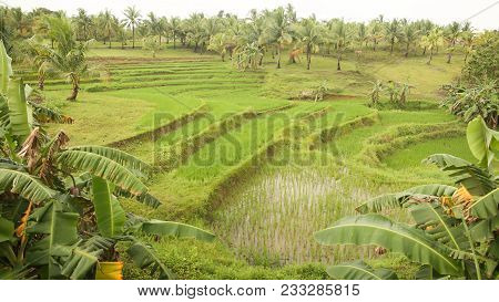 A Green Rice Field Surrounded By Tall Palms In One Of The Philippine Localities. Rice Farming
