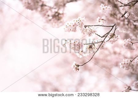 Delicate or fragile branch of Japanese Cherry blossom hanging outward in to incoming light, into soft spring pastel pink background.