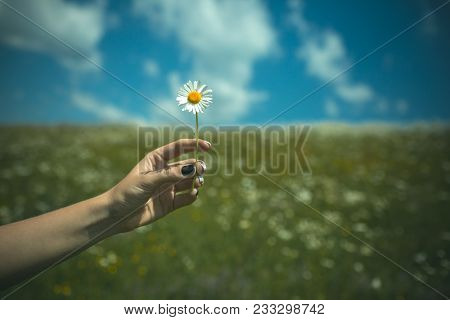 Womens Day, Mothers Day, Beauty. Chamomile Flower In Hand, Nature, Environment. Summer, Love, New Li