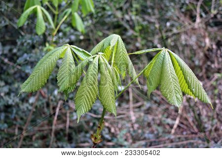 Horse Chestnut Tree Sapling Just Coming Into Leaf