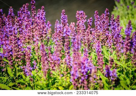 Lavender Flowers, Close-up Selective Focus On Natural Background